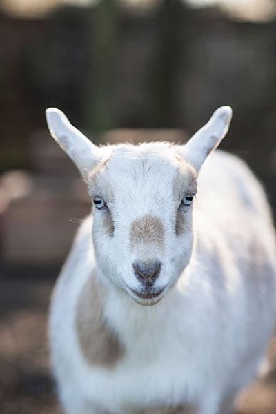 Mount Hope Farm Goat